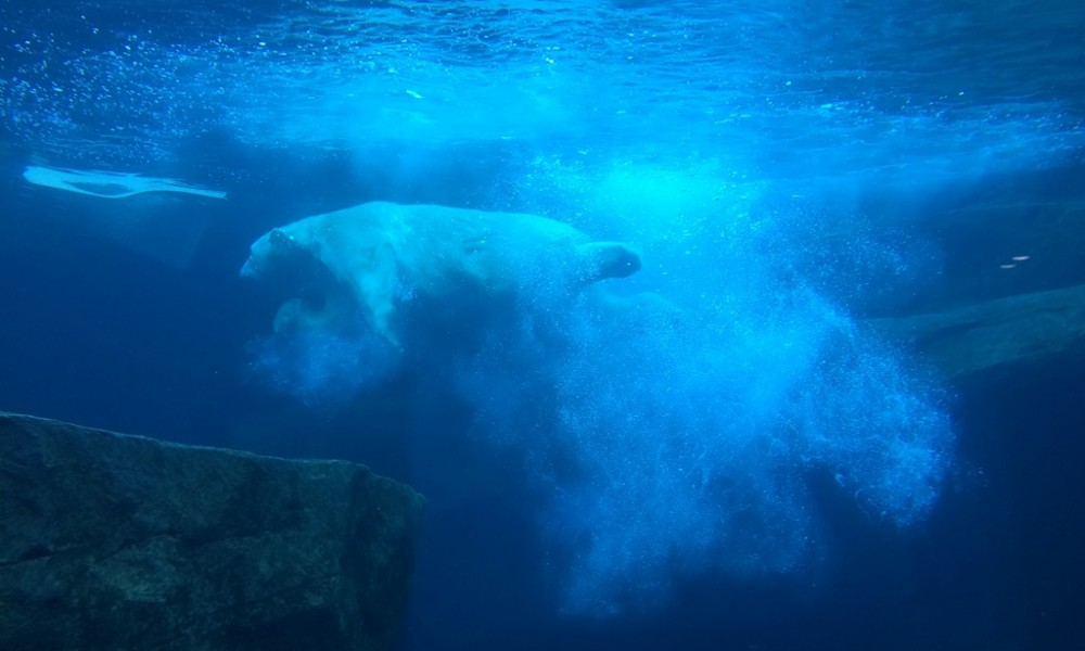 Polar bear at Zoo Vienna