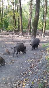 Wildschweine Tierpark