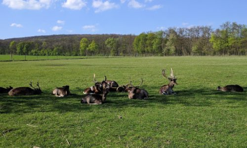 Hirsche im Lainzer Tiergarten